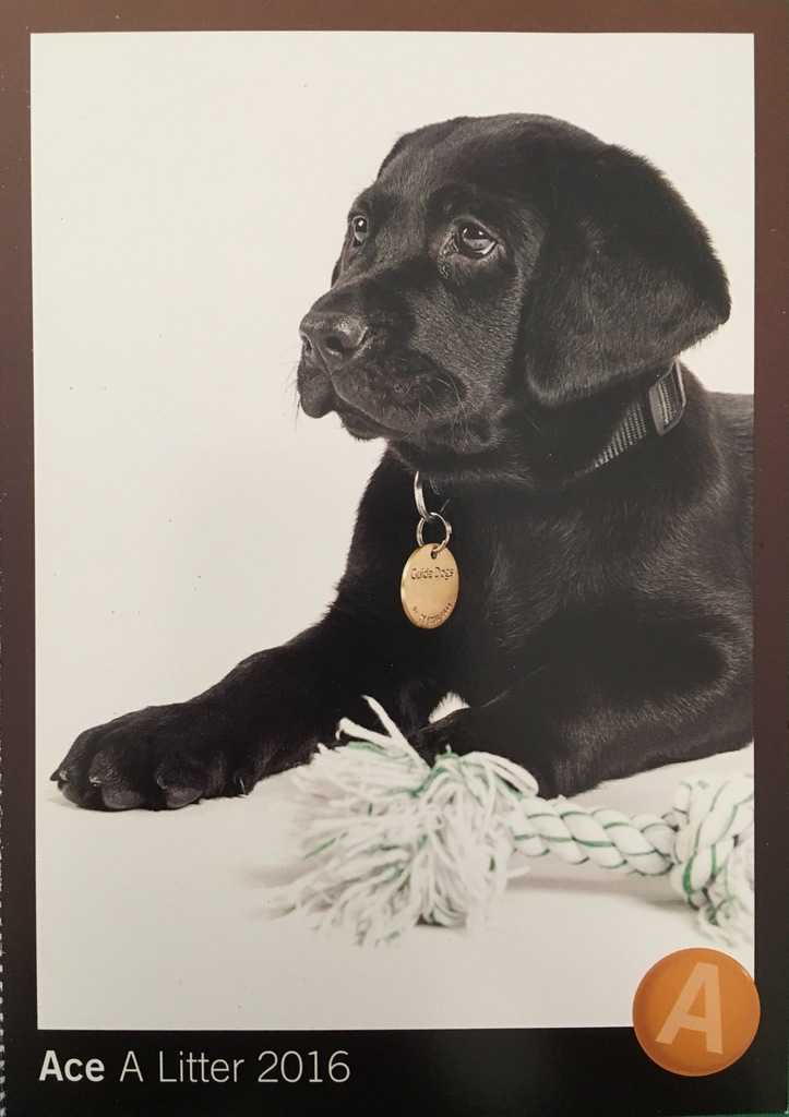 Meet 'Ace' the Guide Dog Puppy!